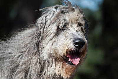 Irish Wolfhound Photograph - Portrait Of An Irish Wolfhound by Zandria Muench Beraldo