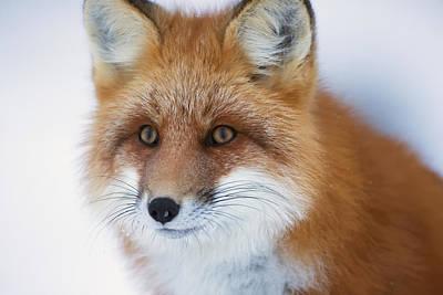 Portrait Of Red Foxchurchill Manitoba Print by Robert Postma