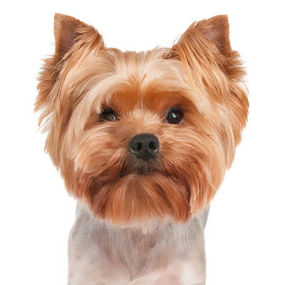 Dog Photograph - Portrait Of The Yorkshire Terrier On White by Konstantin Gushcha
