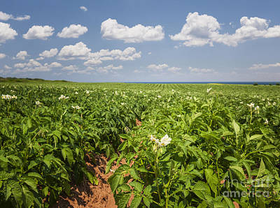 Farm Photograph - Potato Field In Prince Edward Island by Elena Elisseeva