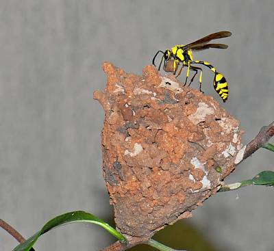 Potter Wasp With Nest Print by K Jayaram