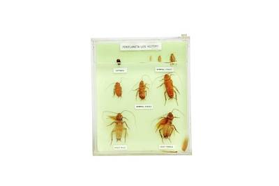 Cockroach Photograph - Preserved Cockroach Life Cycle by Gregory Davies
