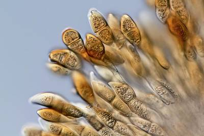 Puccinia Malvacearum Print by Gerd Guenther