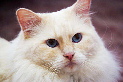 Ragdoll Photograph - Purebred Rag Doll Cat, Flame Point by Piperanne Worcester