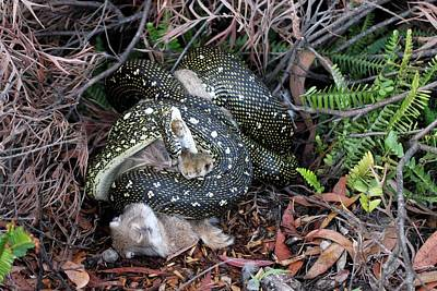 Python Suffocating A Rabbit Print by Gerry Pearce