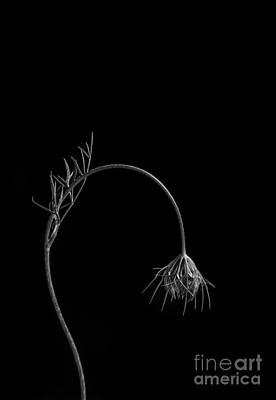 Lace Photograph - Queen Anne's Lace by Diane Diederich