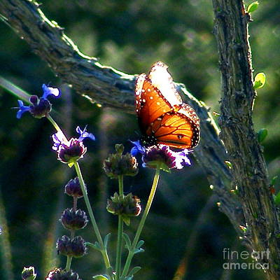 Queen Butterfly Print by Marilyn Smith