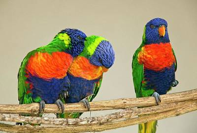 Parrot Photograph - Rainbow Lorikeets by Bob Gibbons