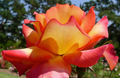Rainbow Sorbet Rose Close Up Print by Denise Mazzocco