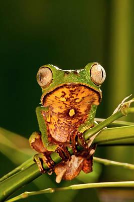 Razor Backed Monkey Frog Phyllomedusa Print by David Northcott