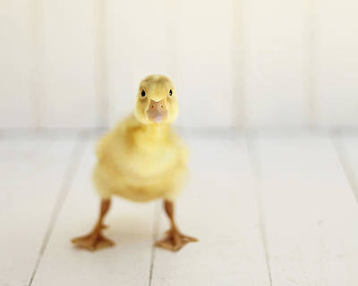 Duckling Photograph - Ready To Rumble by Amy Tyler