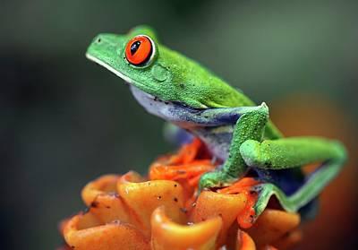Red-eyed Tree Frog Print by Nicolas Reusens
