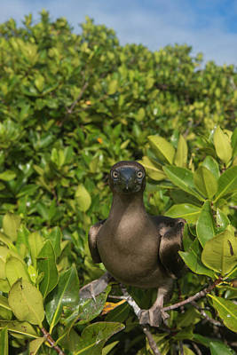 Boobies Photograph - Red-footed Booby (sula Sula Websteri by Pete Oxford