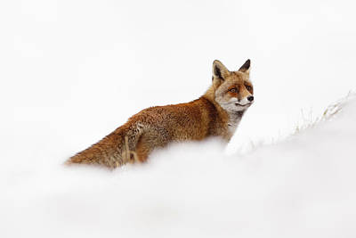 Red Fox In A White World Print by Roeselien Raimond
