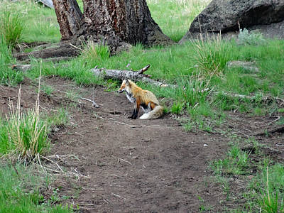 Fox Valley Photograph - Red Fox In Yellowstone by Dan Sproul