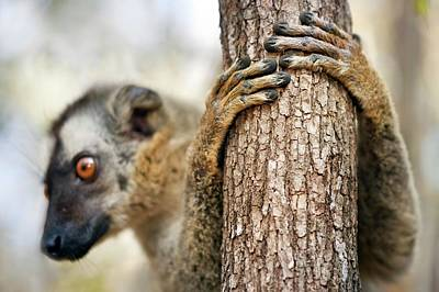 Red-fronted Brown Lemur Print by Alex Hyde
