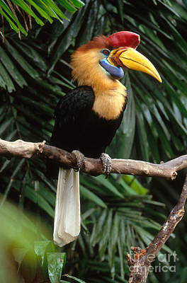 Hornbill Photograph - Red-knobbed Hornbill by Art Wolfe