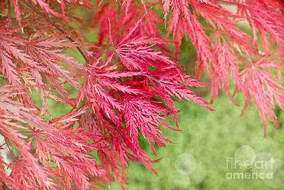 Red Leaves Photograph - Red Maple Leaves by Delphimages Photo Creations