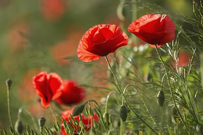 Close Focus Nature Scene Photograph - Red Poppy _papaver Rhoeas__ Upper Rhine by Carl Bruemmer