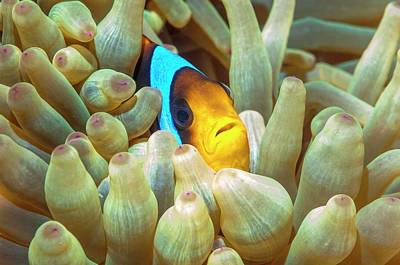 Anthozoa Photograph - Red Sea Anemonefish by Georgette Douwma