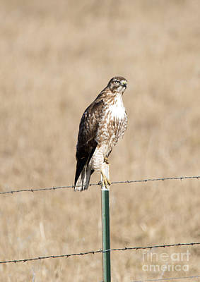 Fence Posts Photograph - Red Tail Stare by Mike Dawson