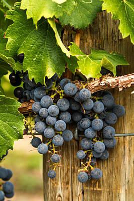 Red Wine Grapes Print by Teri Virbickis