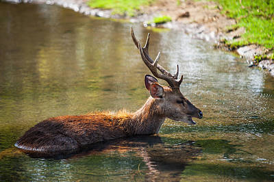 Refreshing 3. Male Deer In The Pampelmousse Botanical Garden. Mauritius Print by Jenny Rainbow