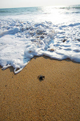 Baby Turtle Photograph - Releasing Green Sea Turtle, Hotelito by Douglas Peebles