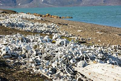 Beluga Photograph - Remains Of Beluga Whales by Ashley Cooper