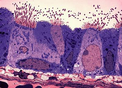 Respiratory Epithelium Print by Ami Images