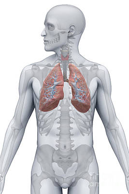 Male Organ Photograph - Respiratory System Male by Science Picture Co