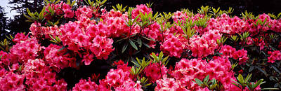 Coo Photograph - Rhododendrons Plants In A Garden, Shore by Panoramic Images