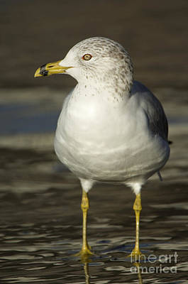 Larus Delawarensis Photograph - Ring-billed Gull by John Shaw