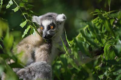Lemur Photograph - Ring Tailed Lemur (lemur Catta by Keren Su
