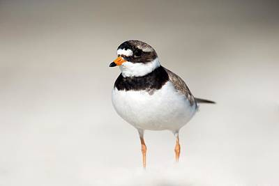 Plovers Photograph - Ringed Plover by Simon Booth