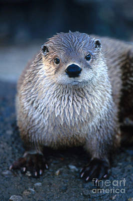 Otter Photograph - River Otter by Art Wolfe