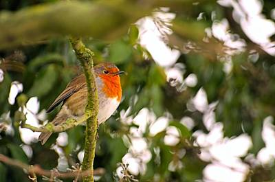Robin Print by Dave Woodbridge