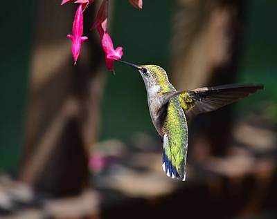 Hummingbird Photograph - Ruby Throat Hummingbird by Kathy Eickenberg