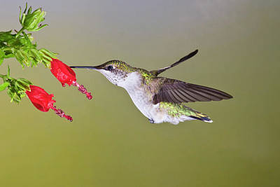Ruby Throated Hummingbird Photograph - Ruby-throated Hummingbird (archilochus by Larry Ditto