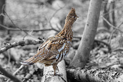 Photograph - Ruffed Grouse 2 by Jahred Allen
