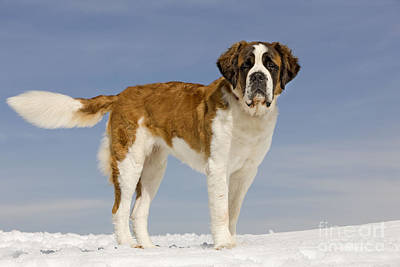 Dog In Snow Photograph - Saint Bernard by Jean-Michel Labat