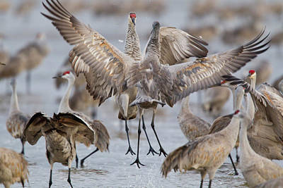 Sandhill Cranes Dancing On The Platte Print by Chuck Haney