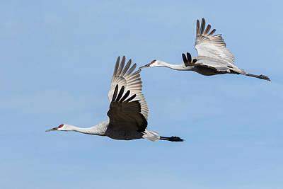 Sandhill Cranes Flying, Grus Print by Maresa Pryor