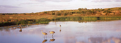 Sandhill Crane Photograph - Sandhill Cranes Grus Canadensis by Panoramic Images