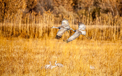 Que Photograph - Sandhill Cranes by Randy Stephens