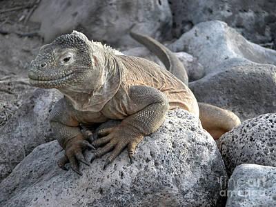 Iguana Photograph - Santa Fe Land Iguana by Liz Leyden