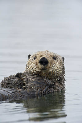 Animals And Earth Photograph - Sea Otter Alaska by Michael Quinton