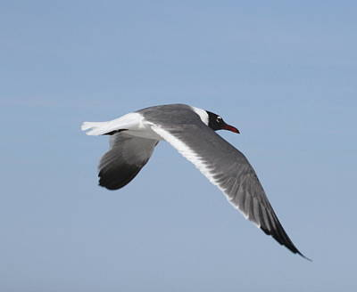 Ocean Photograph - Seagull In Flight by Cathy Lindsey