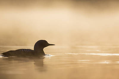 Loon Photograph - Silhouette In Gold by Tim Grams