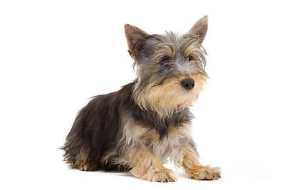 Silky Terrier Photograph - Silky Terrier Puppy Dog by Jean-Michel Labat